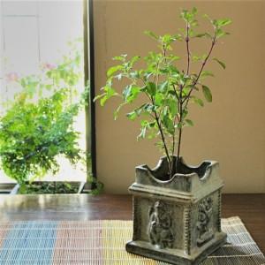 Tulsi-Plant-620x620