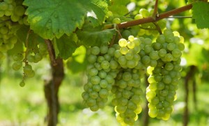 M_Id_379009_grapes