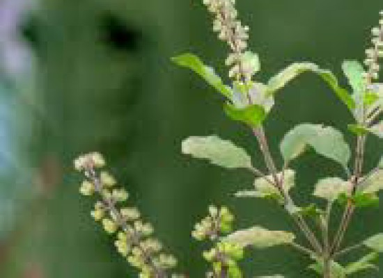 QUEEN OF HERBS- THE HOLY TULSI