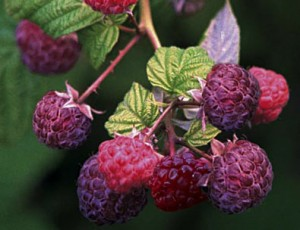 Purple Raspberry