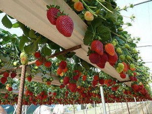 strawberry hanging garden