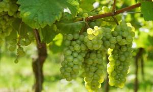 M_Id_379009_grapes