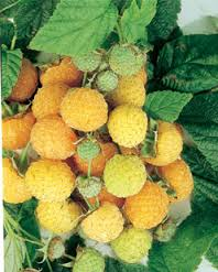 Golden or Yellow Raspberries